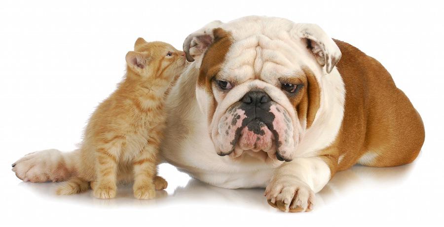 犬の耳の匂いを嗅ぐ子猫