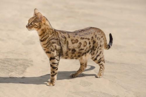 砂漠に住む猫