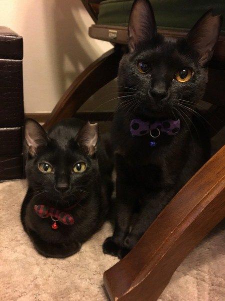 目の色違いの双子黒猫