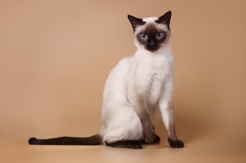 座るシャム猫
