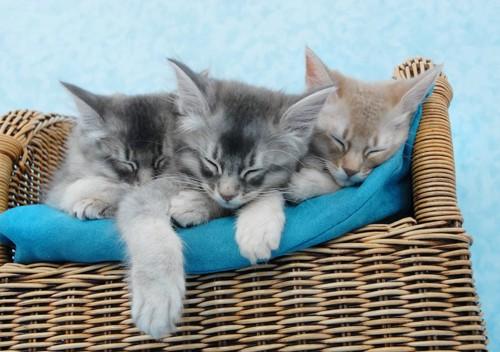 一緒に眠る3匹のソマリの子猫