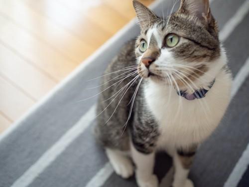 座って上の方を凝視する猫
