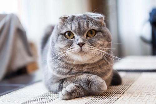 腕組をする猫