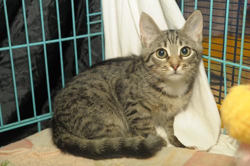 ケージの中からこちらを見つめる保護猫