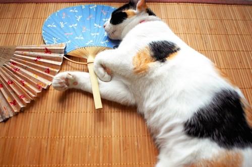 扇子と団扇のそばで眠る猫