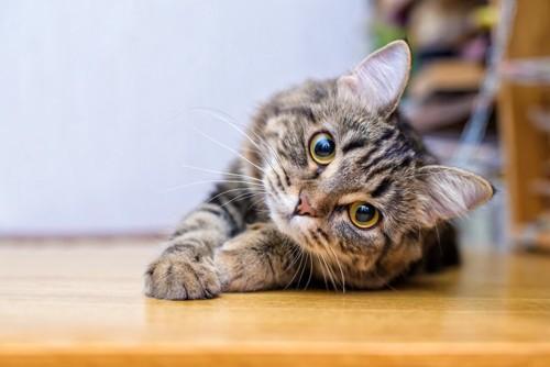首を傾げ見つめる猫