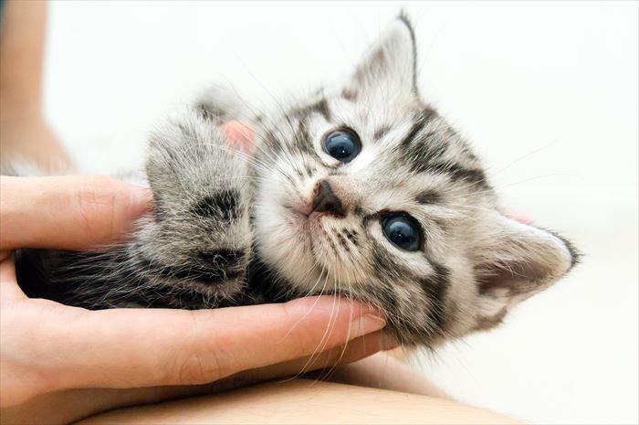 抱っこされるアメリカンショートヘア子猫