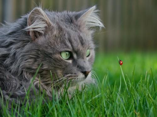 てんとう虫を見つめる猫