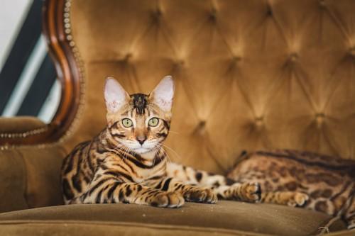 大きなソファーでくつろぐ世界一高い猫かもしれないベンガル