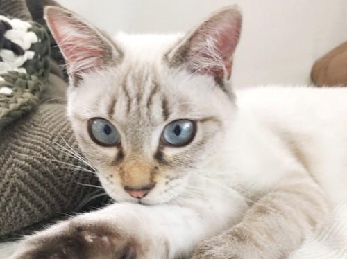 ネズミじゃらしで遊ぶシャム猫