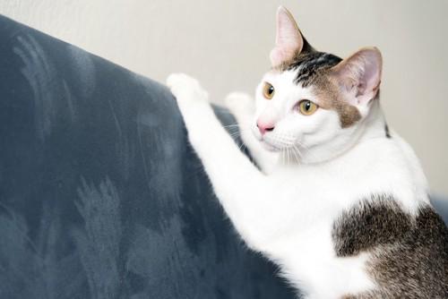 ソファに爪研ぎをする猫