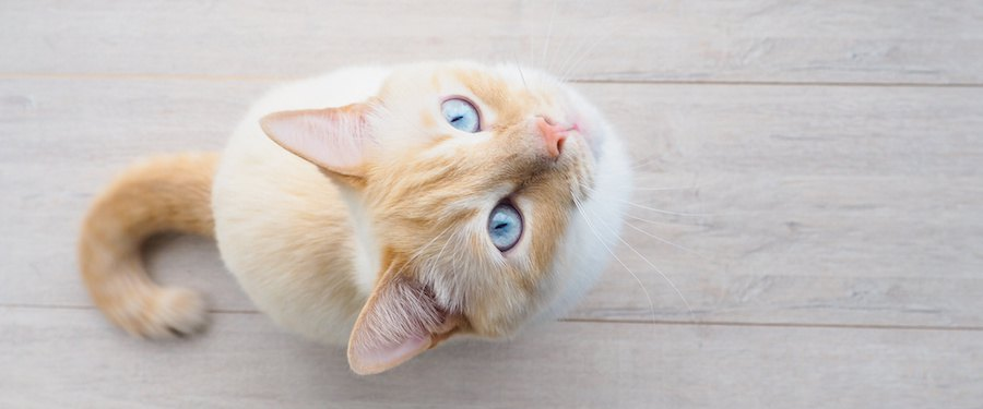 座って上を見つめている猫