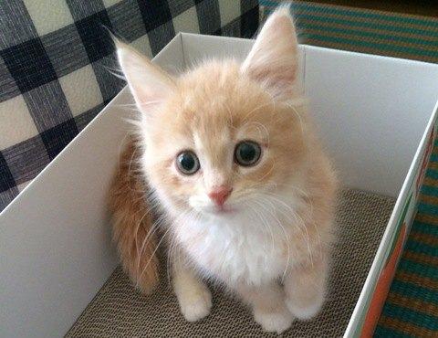 箱に入ったメインクーンの子猫