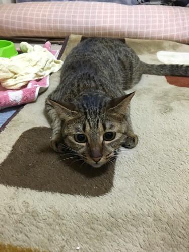 低い姿勢で獲物を狙う猫