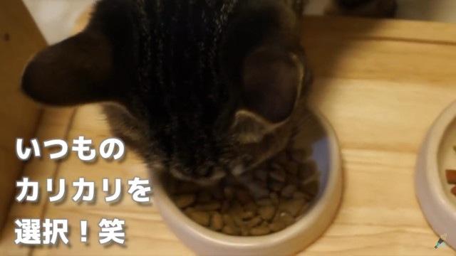 いつものごはんを選ぶ猫