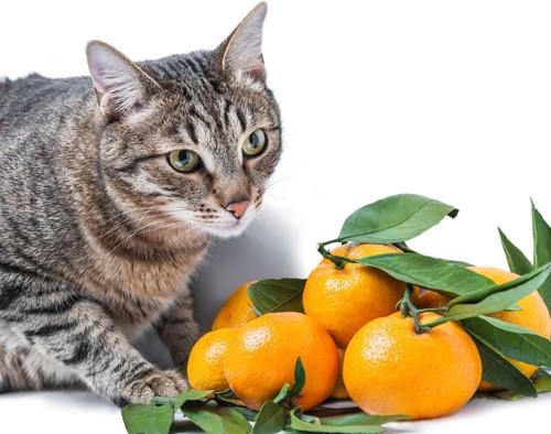 みかんを眺める猫