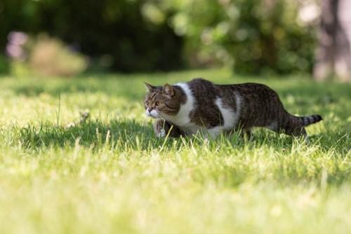 姿勢を低くして歩く猫