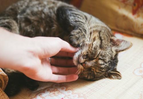 横になって顎を撫でられている猫