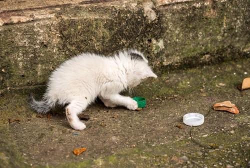 ボトルキャップで遊ぶ子猫