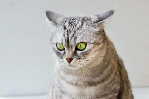 耳を後ろに伏せる猫
