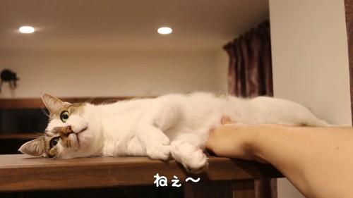 「ねぇ~」とお腹を触られる猫