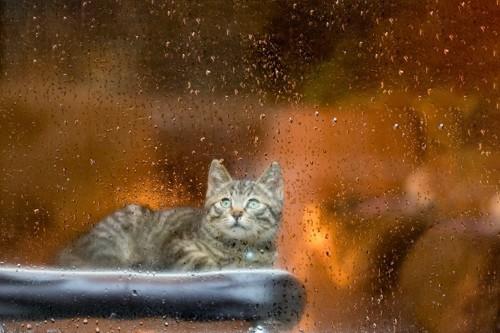 雨が降る窓の外を見ている子猫