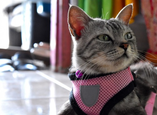 ピンクのハーネスを付けた猫