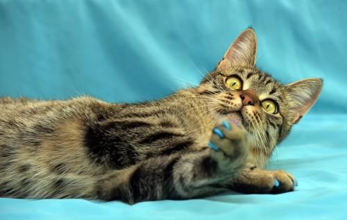 ネイルキャップをする猫