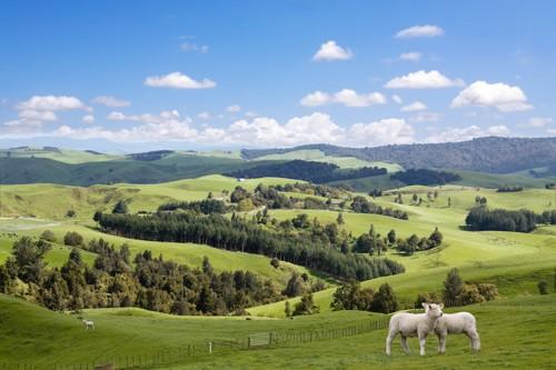 ニュージーランドの広大な牧場と二頭の羊