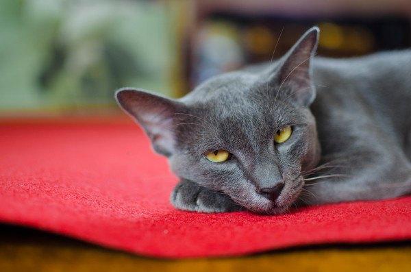 こちらを見る灰色猫