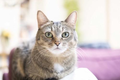 こちらを見つめる猫