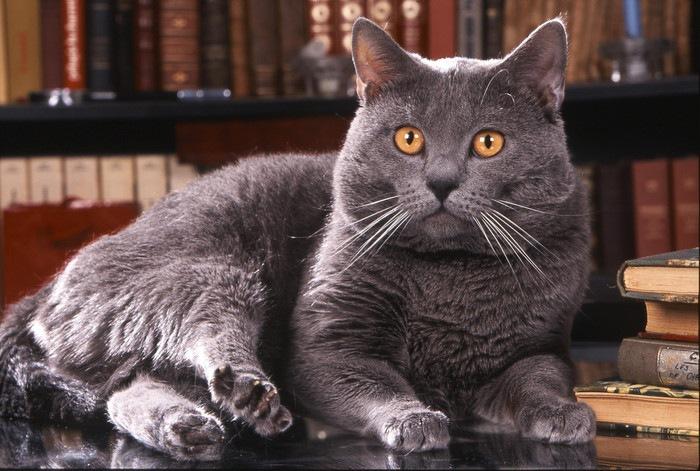 本棚の前で伏せている灰色のシャトルリュー