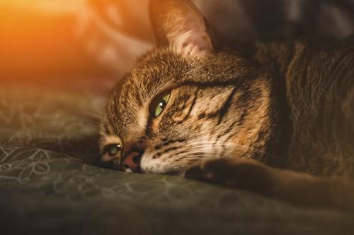 布団の上で横になる猫