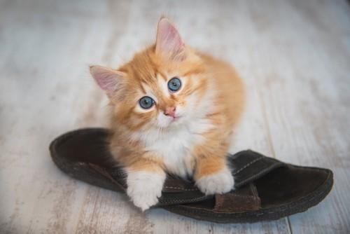 茶色いスリッパの上に乗っている子猫