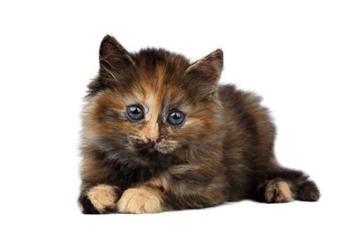 こちらをみるサビ猫