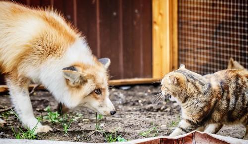 威嚇し合う猫と狐
