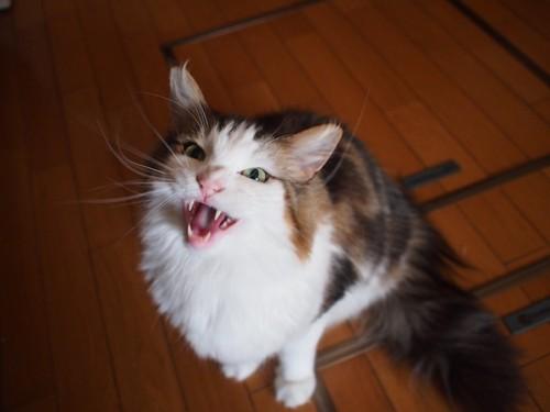 大きな口で鳴く猫