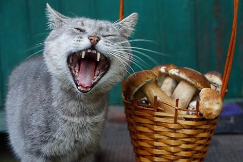 大きく口を開けてあくびをする猫とキノコ