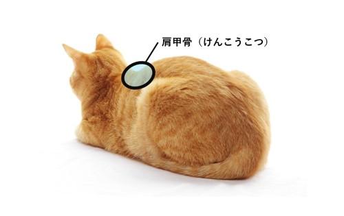 猫の肩甲骨の位置