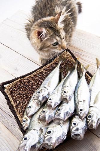 カゴに入った鱈と近寄る猫