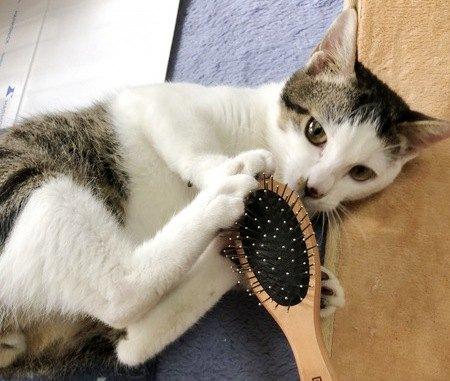 ブラッシングを拒否する猫
