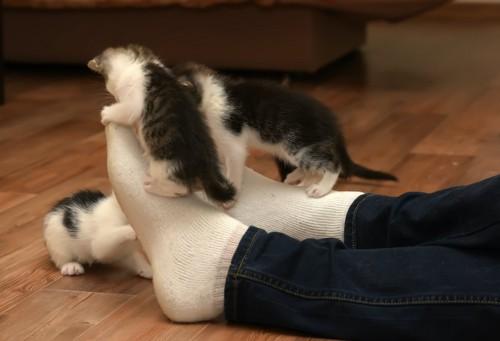 飼い主の足にじゃれつく子猫たち