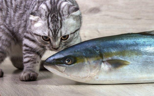 焼き魚か見ている猫