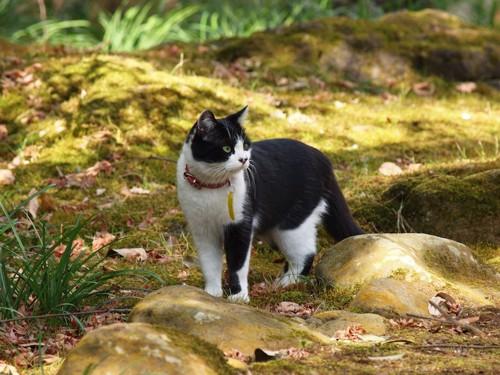 首輪をつけて屋外を歩く猫
