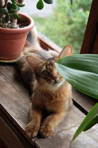 窓辺で観葉植物の葉の陰から見つめるソマリ