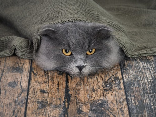 毛布に入って顔だけ出す猫