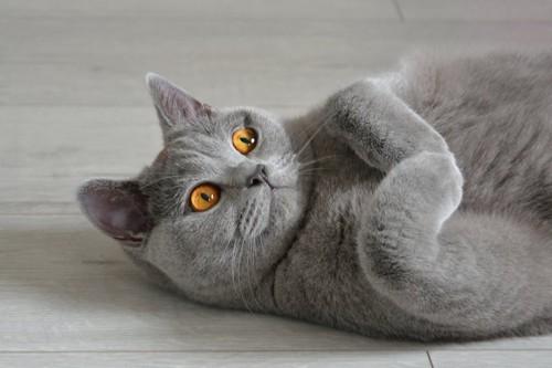 仰向けに寝転ぶブリティッシュ