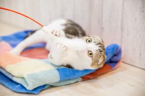 猫じゃらしに食いついてブランケットの上に倒れる猫
