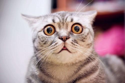 黒目がまん丸になって瞳孔が開いた猫