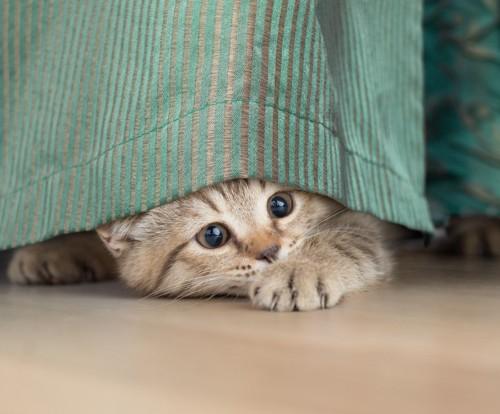 カーテンで戯れる猫